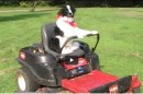 Border collie maait uw gras