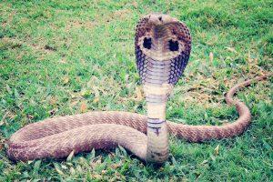 Koningscobra