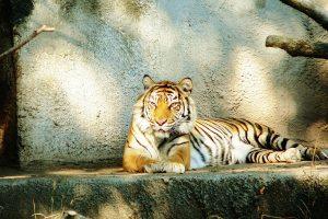Siberische tijger