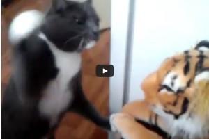 kat vs tijger