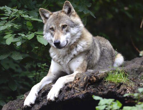 Informatie over de wolf