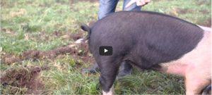 Hoe kan je een krulstaart van een varken rechtmaken