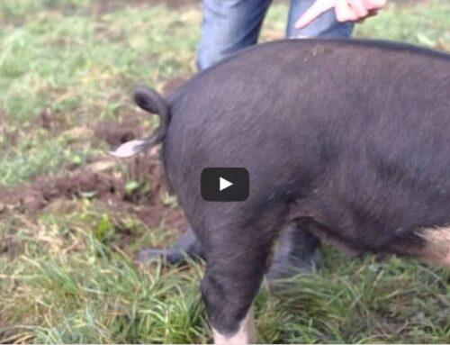 Hoe kan je een krulstaart van een varken rechtmaken?