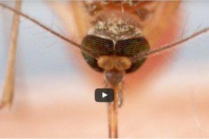 hoe muggen je bloed zuigen is echt schokkend