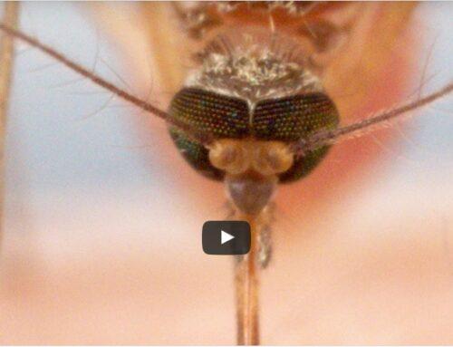 Hoe muggen je bloed zuigen is echt schokkend!