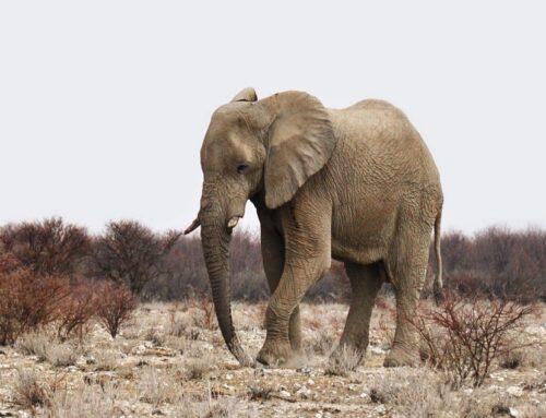 Informatie over de Afrikaanse Olifant