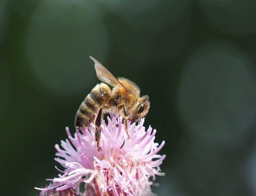 Informatie over de honingbij