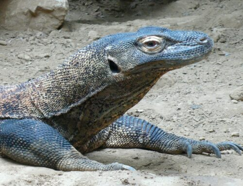 Informatie over de Komodovaraan