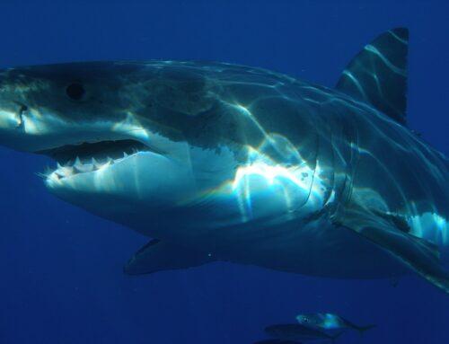 Mensenhaai | Informatie over witte haaien