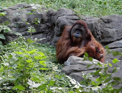 Informatie over de orang oetan