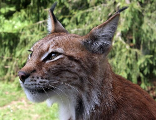 Informatie over de Rode Lynx