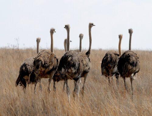 Informatie over de Struisvogel